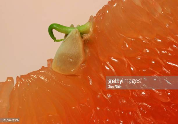 extreme close-up of grapefruit pulps and germinating seed - 果肉 ストックフォトと画像
