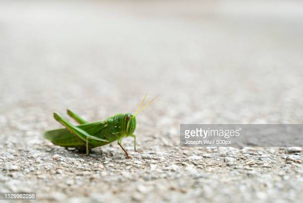 extreme close-up of grasshopper - grasshopper stock pictures, royalty-free photos & images