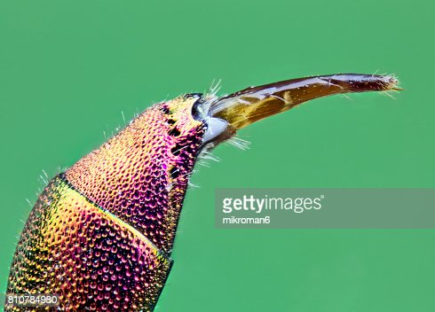 Extreme close-up of insect stinger Ruby Tailed Wasp