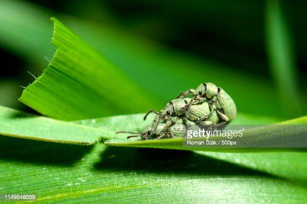 extreme close-up of insects mating on leaf - tierpaarung stock-fotos und bilder