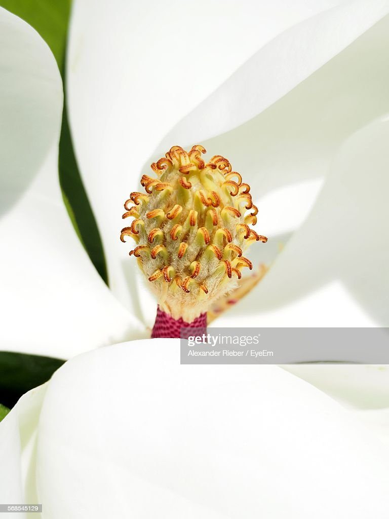 Extreme Close-Up Of Magnolia Outdoors : Stock Photo