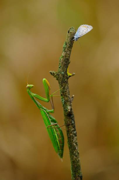 Extreme close-up of mantis