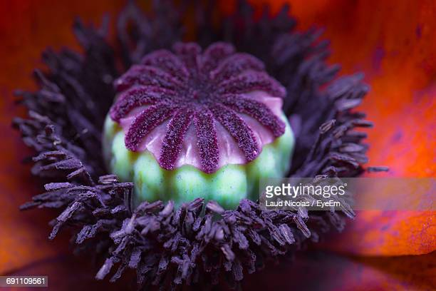 Extreme Close-Up Of Poppy Flower Blooming At Park