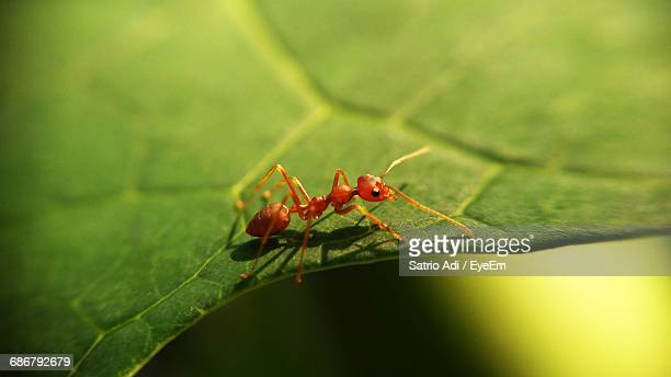 Extreme Close-Up Of Red Ant On Leaf
