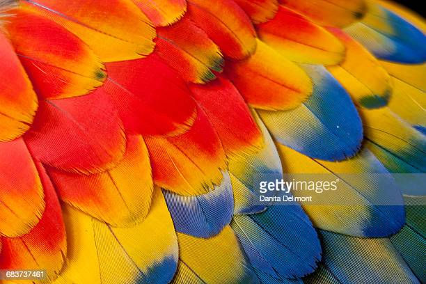 extreme close-up of shoulder coverts feathers of scarlet macaw (ara macao) - scarlet macaw stock photos and pictures