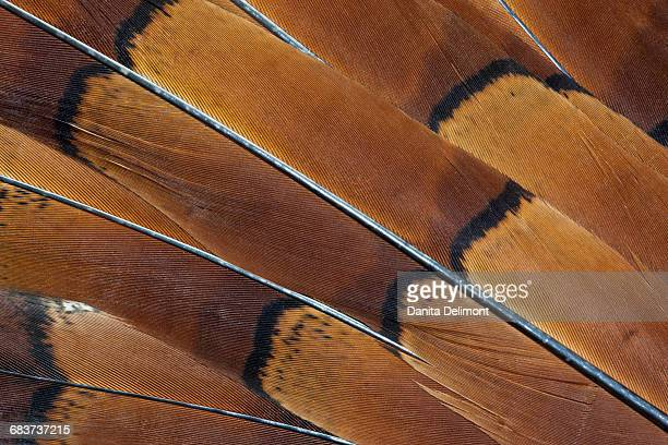 extreme close-up of tail feathers of cooper pheasant (syrmaticus soemmerringii) - pheasant tail feathers imagens e fotografias de stock