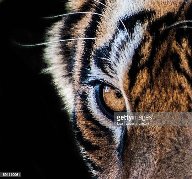 Extreme Close-Up Of Tiger