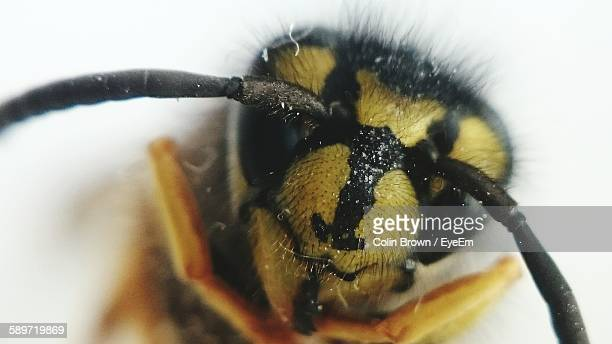Extreme Close-Up Of Wasp