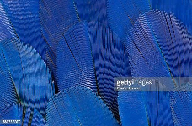 extreme close-up of wing feathers of hyacinth macaw (anodorhynchus hyacinthinus) - arara azul grande imagens e fotografias de stock