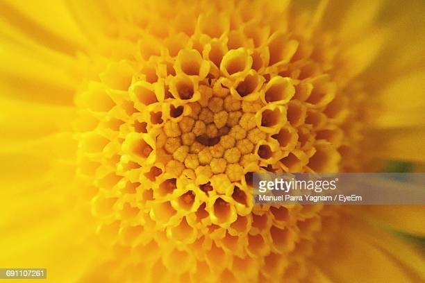 extreme close-up of yellow flower pollen - 花粉 ストックフォトと画像