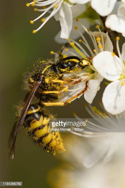 Extreme close-up ofGerman wasp with on flower
