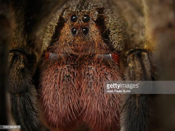 extreme macro of a brazilian wandering spider face (phoneutria nigriventer) - braziliaanse zwerfspin stockfoto's en -beelden
