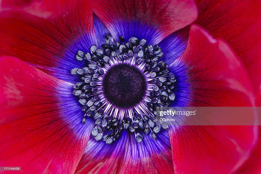 Extreme macro of a red anemone poppy : Stock Photo