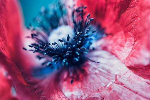 Extreme macro of a red poppy flower - gettyimageskorea