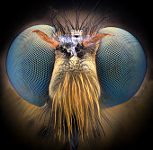 Extreme magnification - Robber fly, front view
