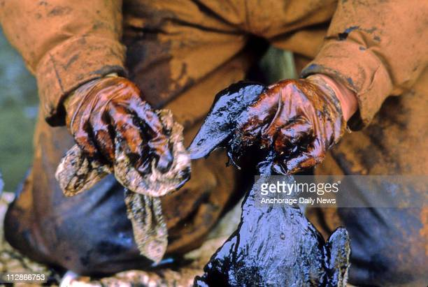 Exxon Valdez oil spill workers recover and clean birds soiled by crude oil spilled when the tanker ran aground in Prince William Sound April 6 1989