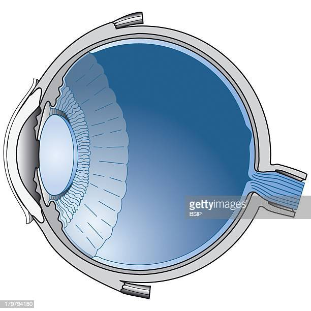 Ciliary Muscle Stock Photos and Pictures | Getty Images