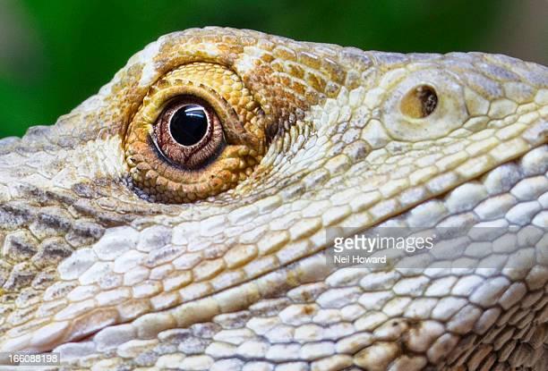 Eye of a Bearded Dragon Lizard