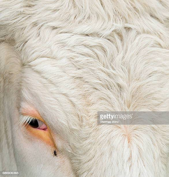 Eye of a cow and fly
