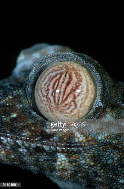 eye of a flat-tailed gecko - uroplatus fimbriatus stock pictures, royalty-free photos & images