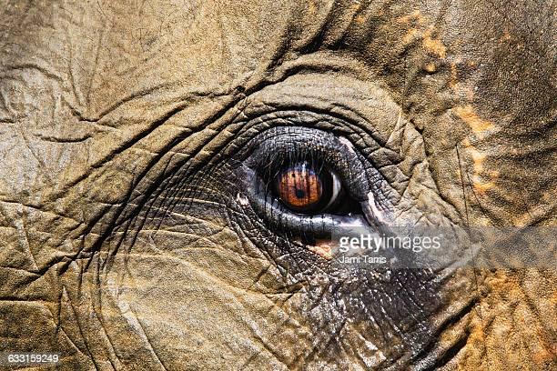 Eye of a Sumatran forest elephant