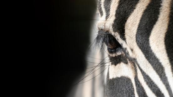 eye of a zebra 170103105