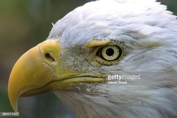 Eye of an American Bald Eagle in Profile
