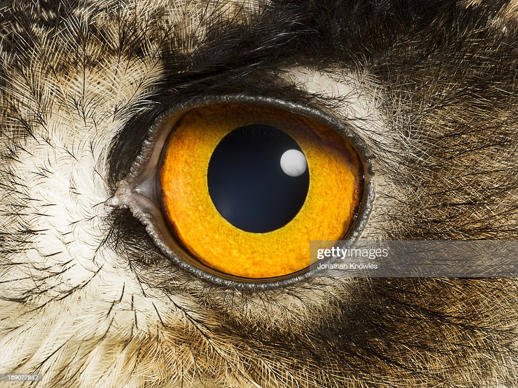 Eye Of An Eagle Owl Close Up Stock Photo   Getty ImagesClose Up Of An Animal Eye