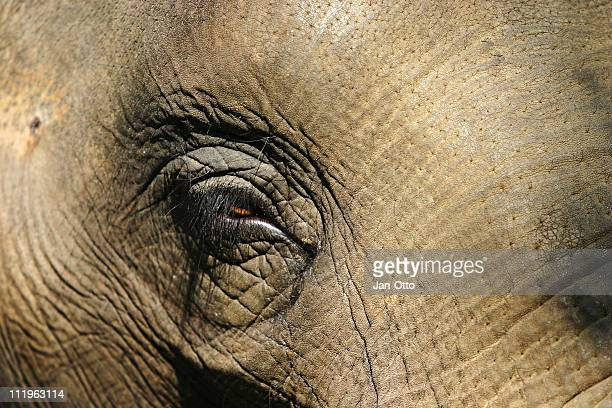 eye of an elephant - elephant face stock photos and pictures