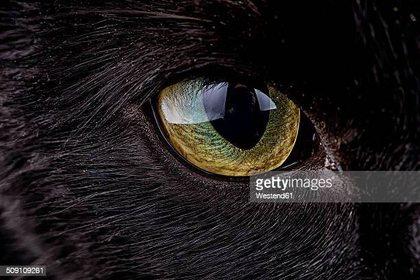 eye of black cat, felis silvestris catus - animal eye stock pictures, royalty-free photos & images