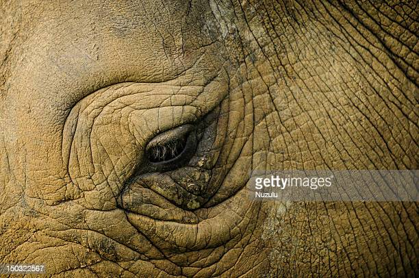 eye of rhino - longleat house bildbanksfoton och bilder