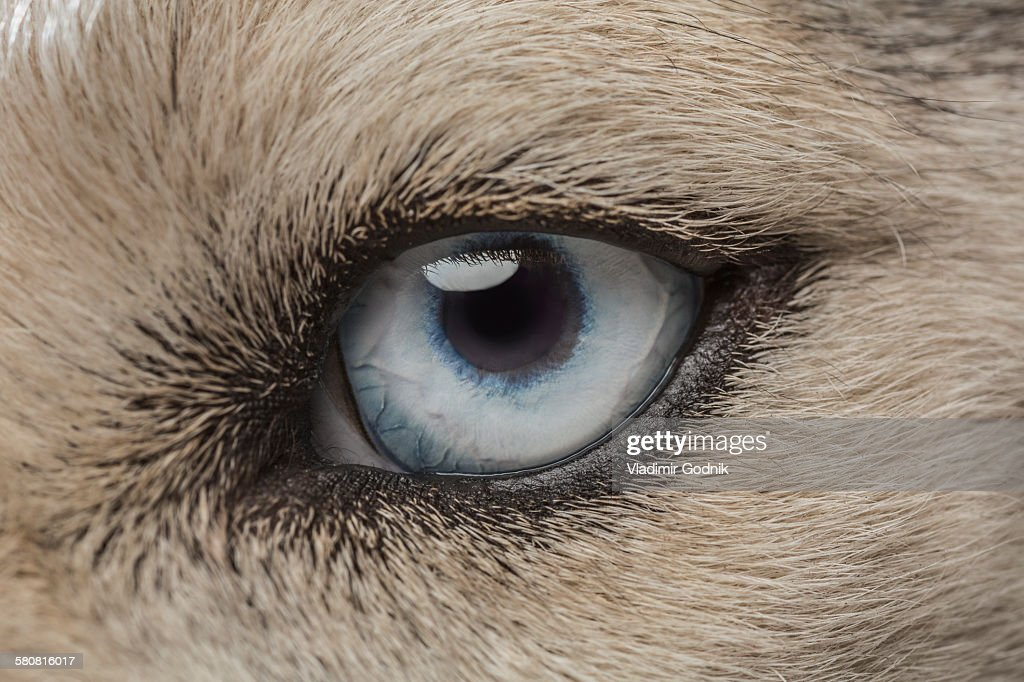 Eye of Siberian Husky : Stock Photo