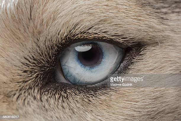 Eye of Siberian Husky