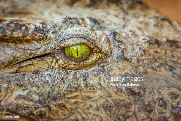 eye of the crocodile - animal eye stock pictures, royalty-free photos & images