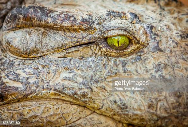 eye of the crocodile - dragon stock photos and pictures