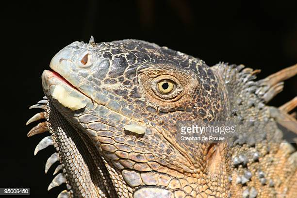 eye of the iguana - stephan de prouw stock pictures, royalty-free photos & images