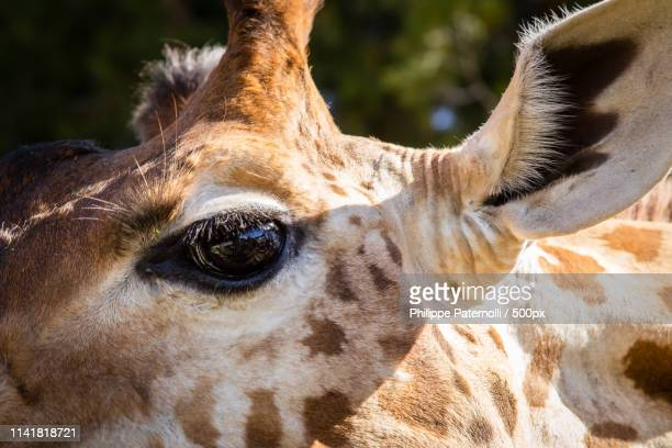 eye of the tig girafe - girafe stock pictures, royalty-free photos & images