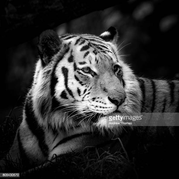 eye of the tiger - fine art portrait stock pictures, royalty-free photos & images