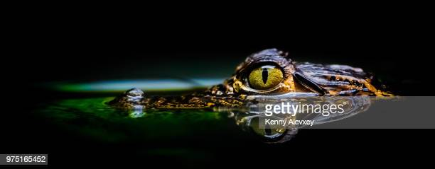 eye - crocodile stock pictures, royalty-free photos & images