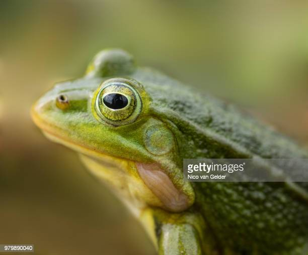 eye - bullfrog stock pictures, royalty-free photos & images