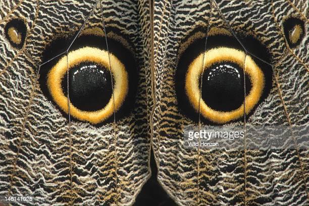 Eye spots on the outer hindwings of a giant owl butterfly Caligo idomeneus La Selva Reserve Amazon Basin Rio Napo drainage Ecuador Photographed under...