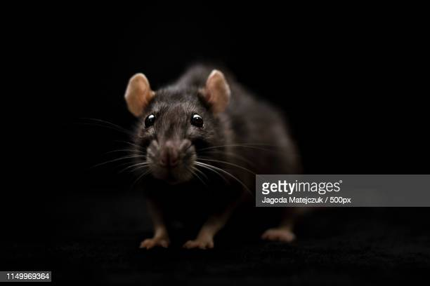 eye to eye with darkness - rat stock pictures, royalty-free photos & images