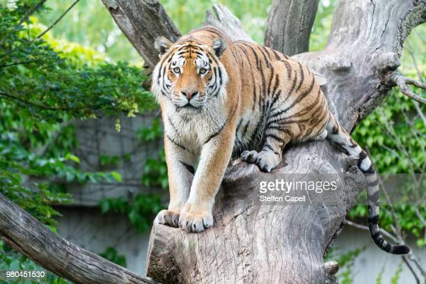 eyecontact - siberian tiger stock pictures, royalty-free photos & images