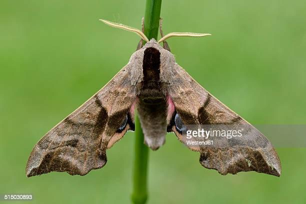 Eyed Hawk-Moth, Smerinthus ocellatus
