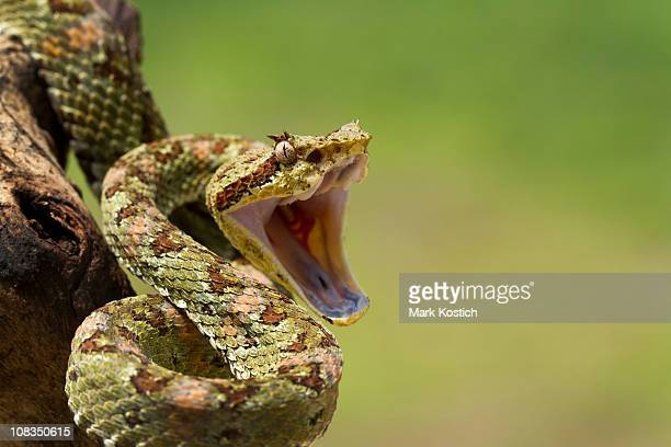 eyelash viper coiled to strike - fang stock pictures, royalty-free photos & images