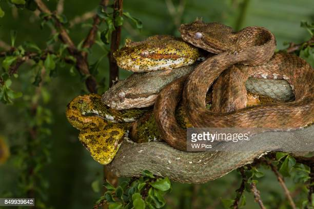 Eyelash Viper Horned Palm Viper Bothriechis schlegelii Schlegelês Palm Viper is a relatively small arboreal pit viper It has supraciliary scales over...