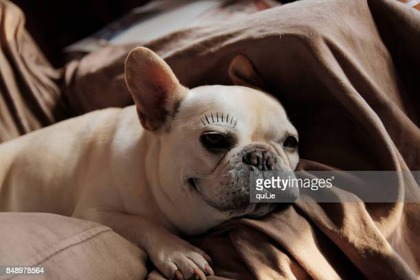 eyelash with french bulldog smile - false eyelash stock pictures, royalty-free photos & images