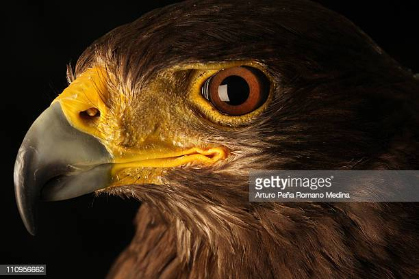 eyes eagle - hawk stock photos and pictures