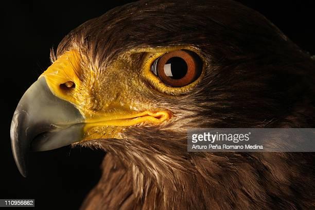 augen eagle - hawk stock-fotos und bilder