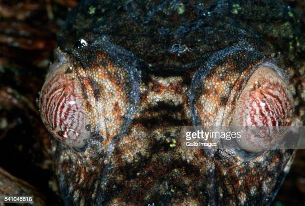 eyes of a flat-tailed gecko - uroplatus fimbriatus stock pictures, royalty-free photos & images